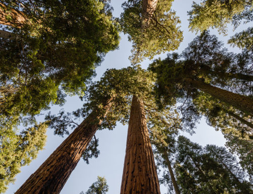 Weekend Musings, Giant Sequoia's and Author Jon Mooallem's Perspective