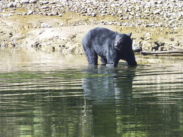 Vancouver Island Black Bear Hibernation